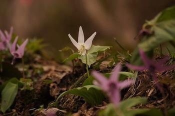 カタクリ白花